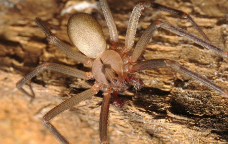 brown-recluse-spider