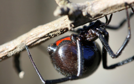 spider-black-widow