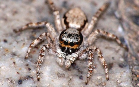 spider-jumping-front